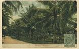 Picture of Coconut Plantation